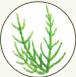 珊瑚草淬取液