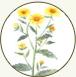 旋覆花淬取液